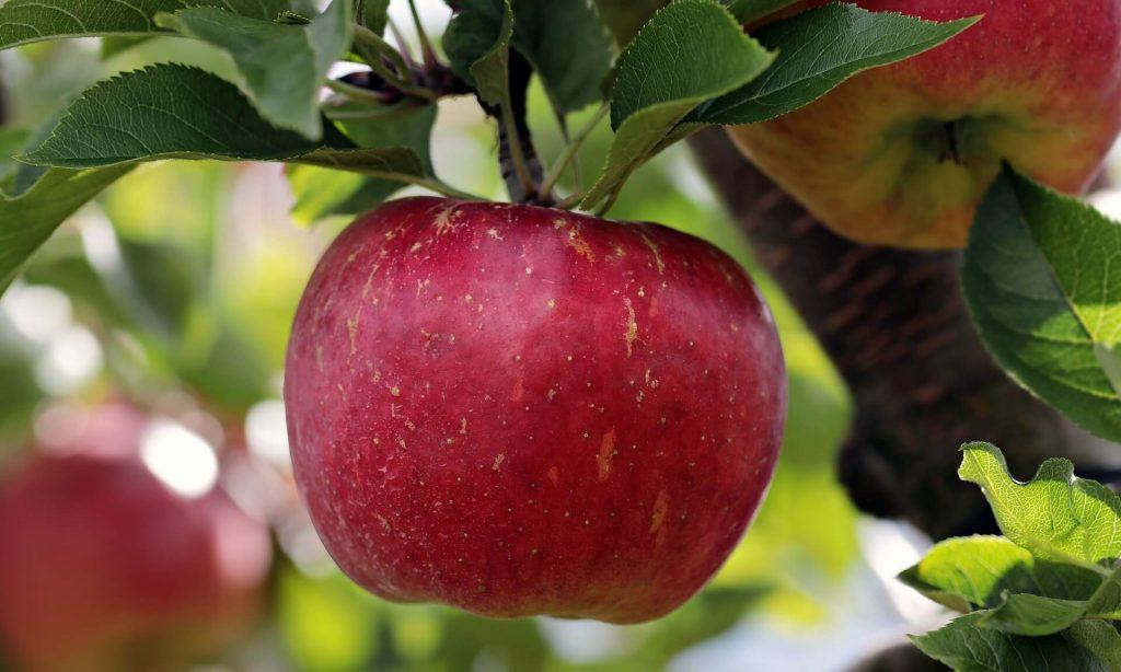 Apfelbäume im August