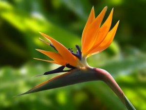 sonnige Balkonpflanzen, wie die Paradisvogelblume