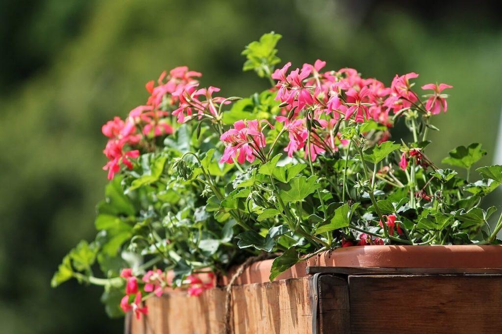 Balkonkasten mit den Herbstpflanzen Geranien