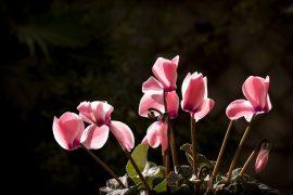 Cyclamen im Herbst
