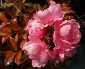 Herbstlicher Rosenbusch