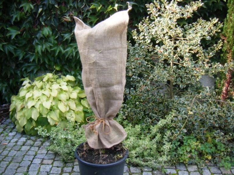 Kübelpflanze zum Überwintern in Jute eingewickelt