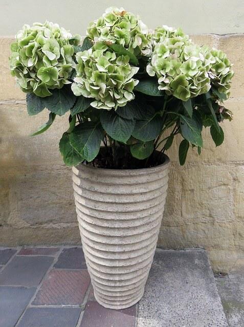 Hortensien im Pflanzkübel