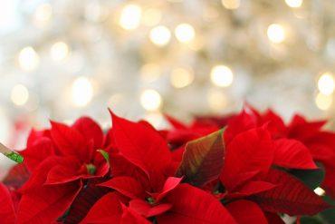 Weihnachtssterne als Kübelpflanze