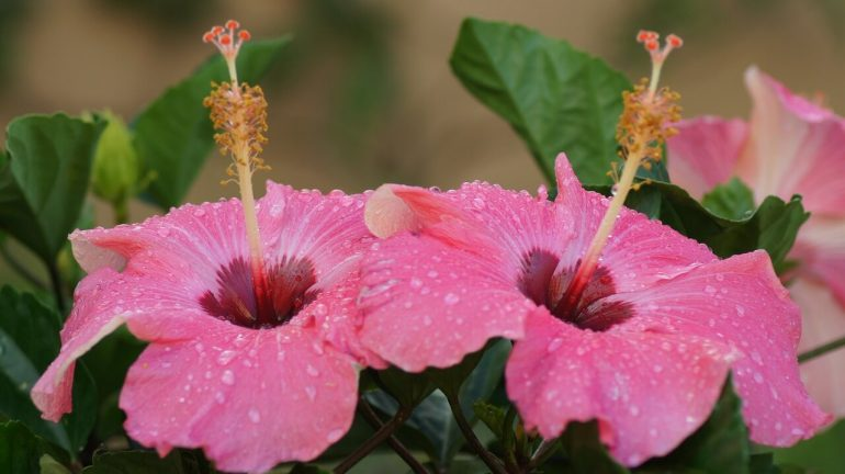 Rosa Hibiskus im Pflanzkübel