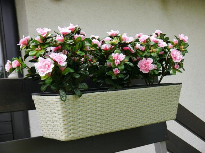 balkonkasten primo pflanztrog pflanzk bel blumenk bel pflanztr ge 60x20x16cm polyrattan creme. Black Bedroom Furniture Sets. Home Design Ideas